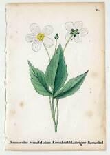 Planta alpina-ranunkel-Ranunculus-mostrarían flor 1856