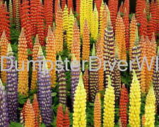 """Russell LUPINE mixed colors native perennial  40+ seeds """" huge tall Flowers! """""""