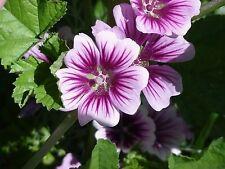 30+ Zebra Hollyhock Malva Flower Seeds / Perennial