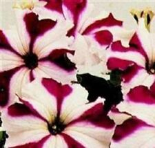 Petunia - Ultra Crimson Star - 30 Seeds