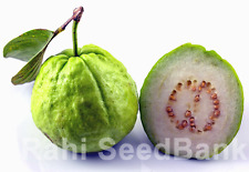Guava Mexican Cream - A Guava with Robust Flavour & Taste - 10 Seeds!!!