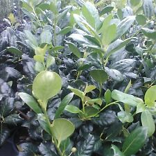 25 Nellie R Stevens Holly Trees(Makes a great hedge and privacy screens)