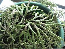 100 Ground Pine Spores Shade Ground Cover