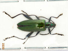Chrysomelidae sp.  A1, 1 pc
