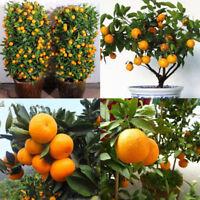 30Pcs Edible Fruit Mandarin Citrus Orange Bonsai Tree Seeds Plants Home Garden A