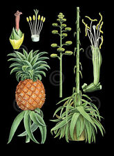 German Educational Plate: Pineapple Vintage Plant Print Poster 19x13