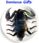 """2 1/2"""" New! REAL Black SCORPION Insect Paperweight OFFICE Desk Gift ARACHNID"""