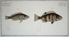 "FISCHE ""Stachelflosser"" - koloriertes Original aus Bloch, Naturgeschichte 1782!"