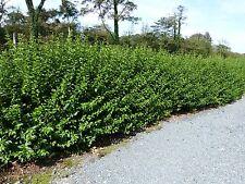 1 Green Privet Hedging Plants Ligustrum Hedge 40-60cm,Dense Evergreen,Big Pots