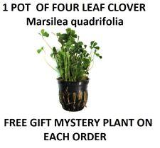 1 Pot of Four clover leaf Marsilea quadrifolia planted tank aquarium aquascaping