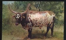Vintage 1950S Texas Longhorn Steer Postcard Unposted Cattle