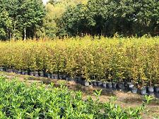 Hainbuche 175-200cm Carpinus betulus gestäbte A Qualität / 10 Liter Topf