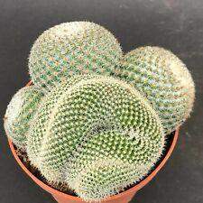 599. Mammillaria albilanata 'Cristata' Sämling/seedling   / 仙人掌 กระบองเพชร