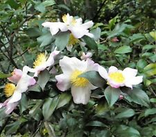 5 TEA PLANT Black & Green Drinking Tea Camellia Sinensis Tree Shrub Flower Seeds