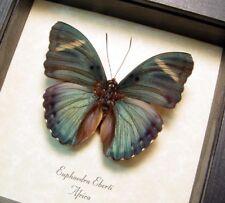 Real Framed Euphaedra Eberti Blue Green Forester Butterfly 311