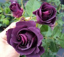 'Rhapsody in Blue' Fragrant Floribunda Rose Of The Year, Fantastic Scent & Bloom