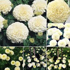 Flower Seeds Marigold - Tagetes Kilimanjaro Organic Flowers Seeds