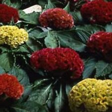 Cockscomb-(Celosia Cristata)- Mix-  25 seeds- BOGO 50% off SALE