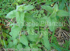 Mentha arvensis * salvajes menta piperita invierno duro * 50 semillas