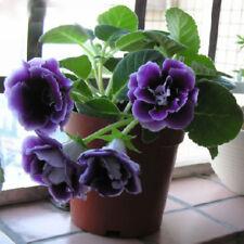 Gloxinia Purple Seeds Perennial Flower Plants Sinningia Speciosa Bonsai Flower