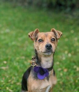 HandMade Poppy Dog Collar Accessory, Purple Poppy Felt Flower Slides onto collar