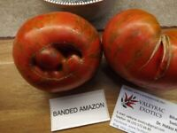 Banded Amazon Tomate - Tomato 10+ Samen - Saatgut - Seeds - Gemüsesamen
