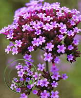 Seeds Verbena Bonsai Rare Perennial Seeds Flowers Garden Glass 100 Pcs