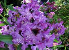 Rhododendron großblumige Hybride Marcel Menard 30-40cm Frühlingsblüher