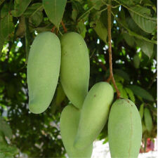 2PCS Rare Mango Seed Very Delicious Fruit Seed Very Easy Grow For Home Garden DS
