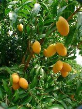 Best Original Bouea macrophylla PLANGO 5 Seeds