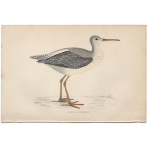 Morris Birds antique 1863 hand-colored engraving print Pl 216 Spotted Redshank