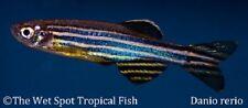 "(12) 1.25"" Zebra Danio Brachydanio rerio Freshwater Live Tropical Fish beginner"
