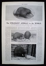 BLACK SPINED PORCUPINE ANTEATER ANIMAL LONDON ZOO NEW GUINEA PHOTO ARTICLE 1913
