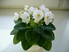African Violet Alans White Feather Mini