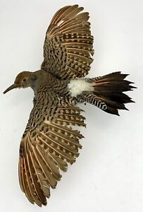 Vtg Taxidermy Northern Flicker Woodpecker Flying Open Wing Span Wall Mount Bird