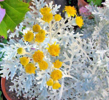 48 x Senecio cineraria 'Silver Dust' Mini Plug Plants For Potting On