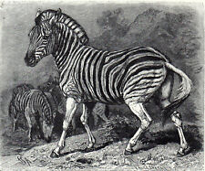 Burchell'S Zebra 1894 Friedrich Specht - Mammal Victorian Engraving