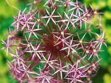10 x Allium CHRISTOPHII - Giant Perennial Garden Plant BULBS