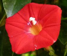 CARDINAL CLIMBER Ipomoea x Multifida - 200 Bulk Seeds
