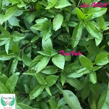Thai Basil - Live with Roots