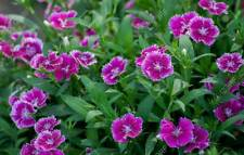 100 Dianthus Chinensis Flower Seeds Rare China Pink Beautiful Home Potted Plants