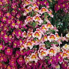 Kings Seeds - Schizanthus Dr Badgers - 275 Seeds