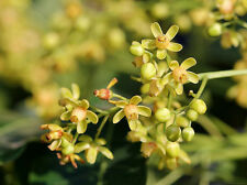 Swietenia Mahagoni, Hardwood Mahogany tree bonsai rare hard wood seed 15 seeds