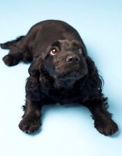 Metal Magnet Cocker Spaniel Laying Down Looking Up Dog Dogs Blue Magnet