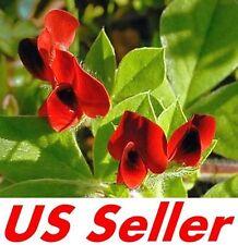 20 Seeds Asparagus Pea Seeds E88, Tetragonolobus Purpureus Edible Annual Vine
