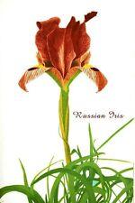 RUSSIAN IRIS FLOWER vintage botanical poster BOLD BEAUTIFUL 24X36 collectors