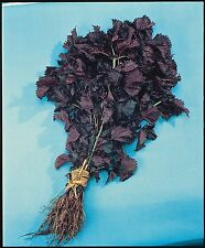 Salad - Perilla - Shiso - Red -  5g Seeds - Large