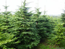 100 Noble Fir Tree Seeds, Abies procera, Zones 3 to 9, Free Shipping, Tree Seeds