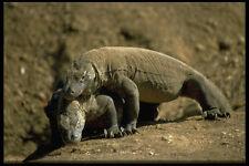 446018 Komodo Dragones De Komodo Parque Nacional A4 Foto Impresión