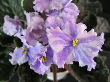 African Violet Plant Calico Queen Chimera